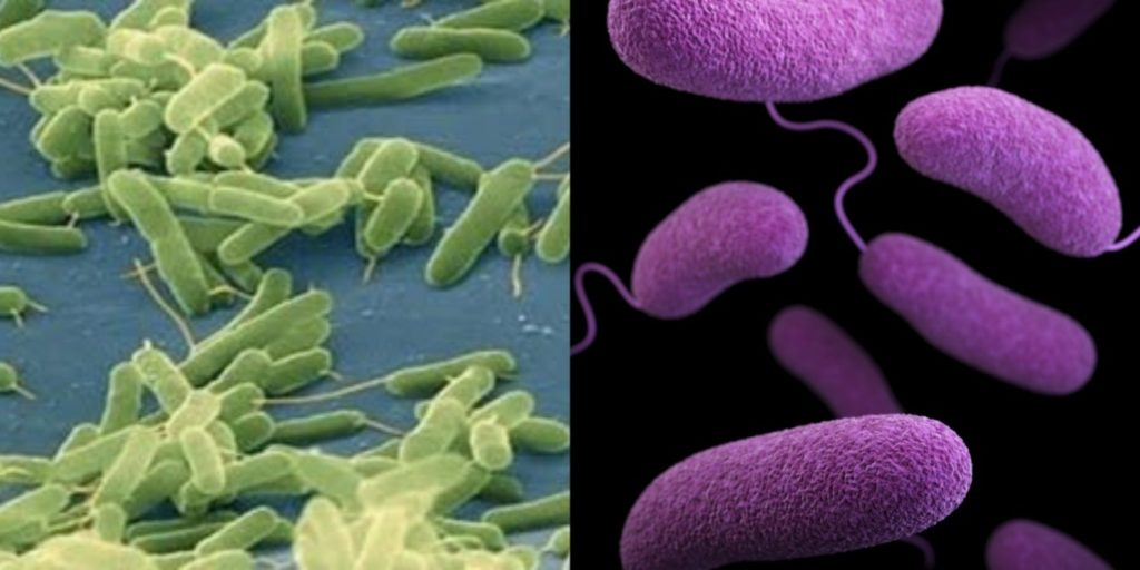 Fig. 1. Microscopy images of pathogens Vibrio vulnificus (left) and Vibrio parahaemolyticus (right).