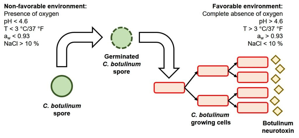 Figure 2. C. botulinum life cycle and conditions that prevent (left) and support (right) spore outgrowth